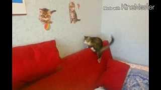 Кошка бегает за хвостом