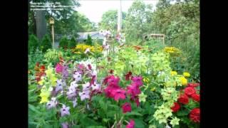 Nicotiana alata Flowering Tobacco