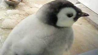 アドベンチャーワールドの生後3ヶ月の皇帝ペンギンの赤ちゃん。ごはん...
