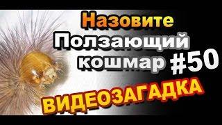 Видео загадка #50 Назовите Ползающий Кошмар!(Очередная видеозагадка от Sekretmastera. Назовите гусеницу, а вернее название насекомого. Длина данного экземпля..., 2014-08-14T13:45:44.000Z)
