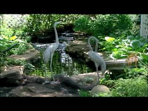 Heron Targets Waldo Man's Koi Pond