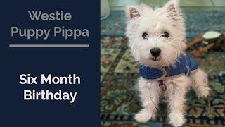 Westie Puppy Pip's 6th Month Birthday