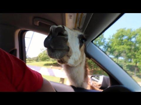 Vicious Llama Attack - Virgina Safari Park
