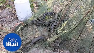 Fisherman finds a four-metre-long python in his crab net