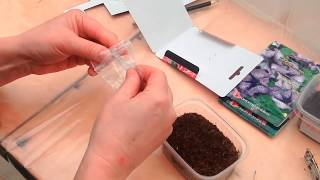 How to grow petunia from seeds at home?