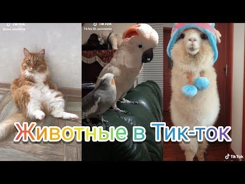 Животные  Animals Тик Ток! В Tik Tok!! Мьюзикали или Musical.ly Like Лайк №31