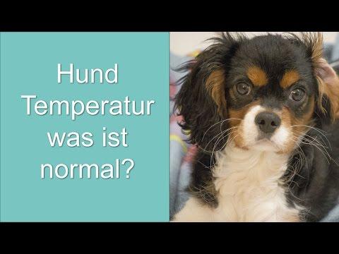 hund-temperatur...-was-ist-normal?