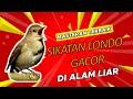 Masteran Terbaik Burung Sikatan Londo Dada Coklat Gacor Full Isian Dengan Durasi Panjang Dan Jernih  Mp3 - Mp4 Download