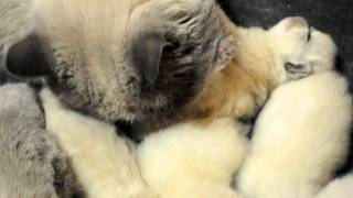 заботливый папа кот экзот.