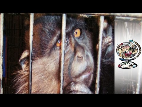 The Monkeys Murdered to Fill America's Zoos