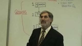 Professor Fink explains CELLULAR RESPIRATION (Part 3); Glycolysis