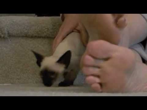 Siamese Kittens go wild when they first get home