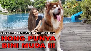 HONG DAPET BINI MUDA !!! - ANJING ALASKAN MALAMUTE GIANT