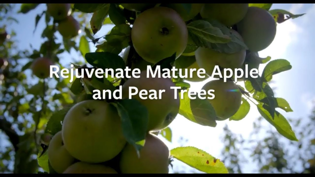 Apples and pears: renovating old trees / RHS Gardening