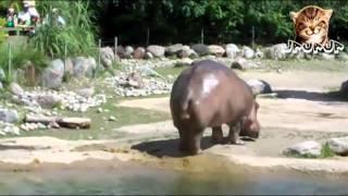 Super pedo de Hipopotamo jajaja thumbnail