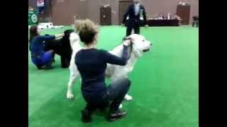 Sher-Giz Hvala 2013 01 26  / Hvala was chosen among 7 best dogs/ BIG