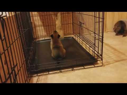 Belgian Malinois Puppies 26 days old