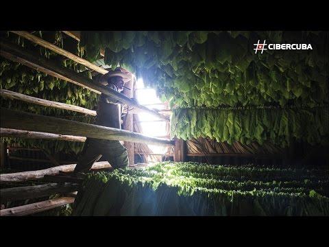 Cosecha y fabricación del tabaco en el Valle de Viñales, Cuba