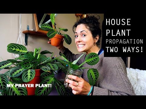 Houseplant Propagation | My Prayer Plant