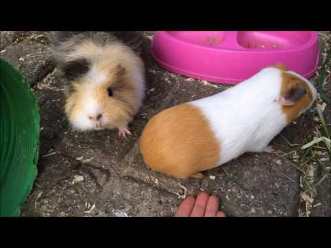 Can Guinea Pigs Live Alone? | Furry Friends