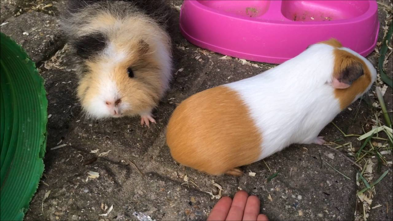 How many guinea pigs live 66