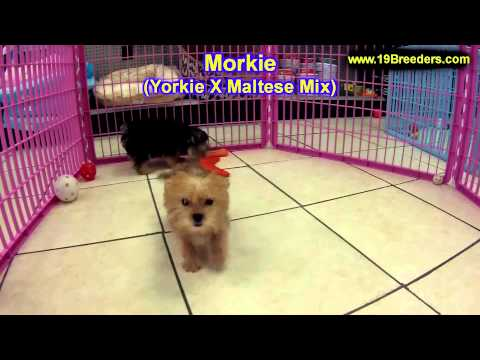 morkie,-puppies,-for,-sale,-in,-philadelphia,-pennsylvania,-pa,-borough,-state,-erie,-york