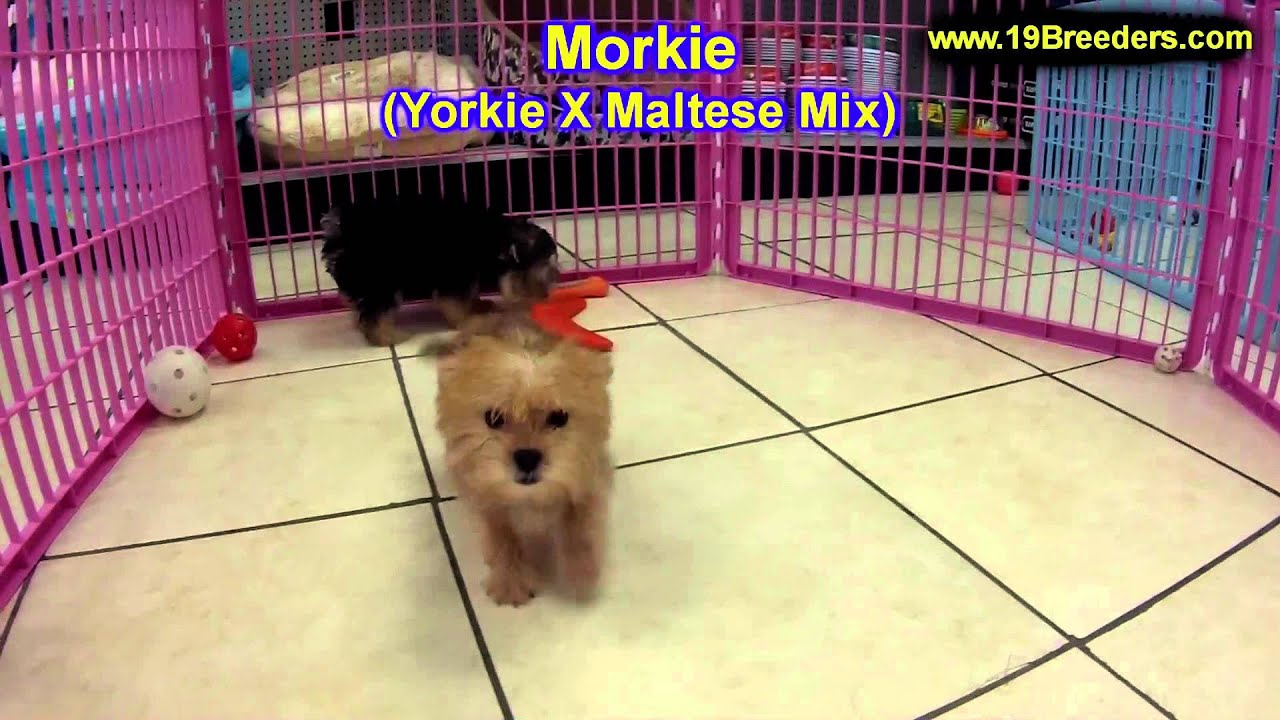 Buy Morkie Puppies For Sale In, New York USA