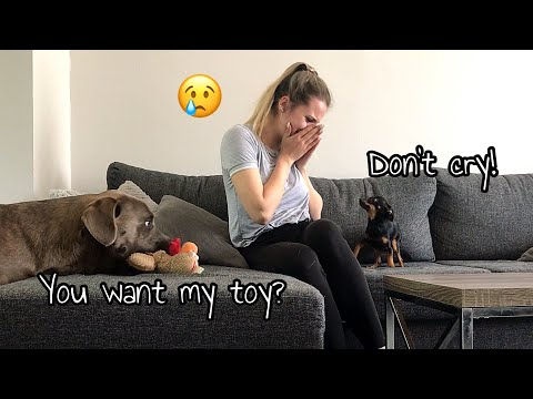 DOGS REACT TO OWNER CRYING   DOG PRANK   LABRADOR AND CHIHUAHUA