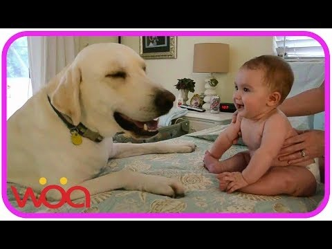 Baby laughing at Labrador Dog - Labrador Dog Kissing and Playing Baby - Baby Loves Labrador Dog