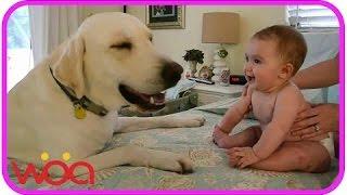 Baby laughing at Labrador Dog - Labrador Dog Kissing and Playing Baby - Baby Loves Labrador Dog