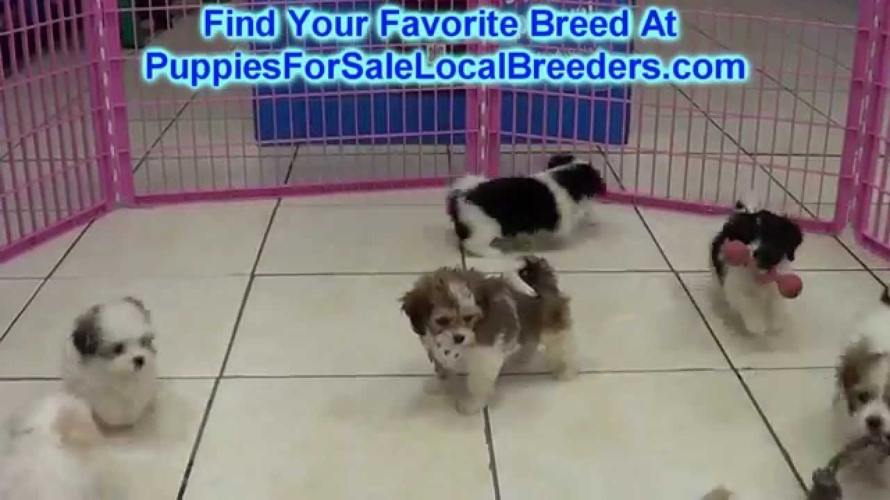 CavaChon, Puppies For Sale, In Winston-Salem, County ...