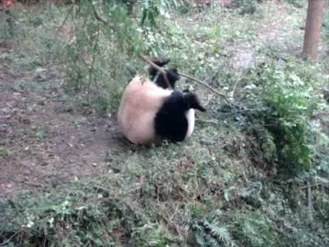 Crazy Panda Commando Roll YouTube - This bear is rolling down a hill is having the time of his life