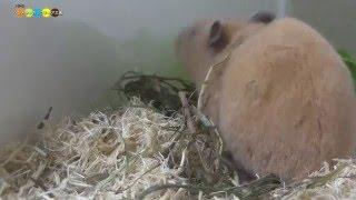 巣を作るために牧草を集めているハムスターの様子です。人間と違って必...
