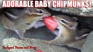 Chipmunks Eating Nuts Fruit Playing Backyard Habitat Baby Animals Loving Tug-O-War