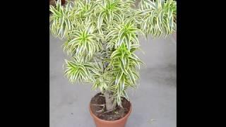 Propriedades da Planta Dracena