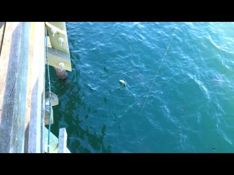 Thumbnail: 3 Sharks Attack Sting Ray off Myrtle Beach Pier
