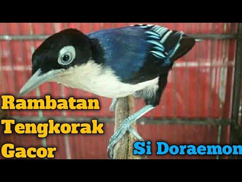 Rambatan Tengkorak Loreng Gacor Rambatan Doraemon Youtube