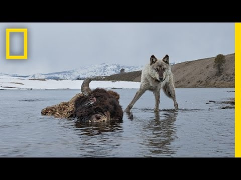 Photographing the Wild Wolves of Yellowstone | Exposure