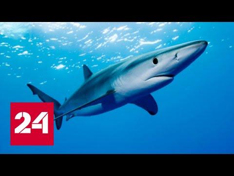 Акулий жир способен помочь в борьбе с COVID: хватит ли в мире акул для этой цели - Россия 24