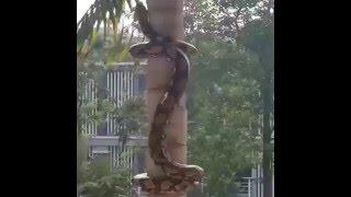 The Big Python Climb the Coconut Tree Live Video