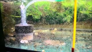 daphnia culture ( bio filter )