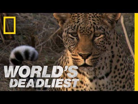 Leopard's Revenge   World's Deadliest