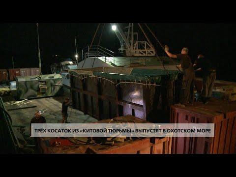Трёх косаток из «китовой тюрьмы» выпустят в Охотском море