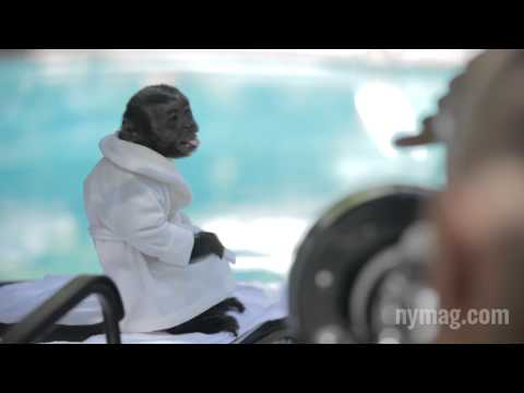Crystal the Monkey of 'Animal Practice' Poses for 'New...