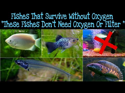 Fishes That Survive Without Oxygen, These Fishes Don't Need Extra Oxygen In Aquarium