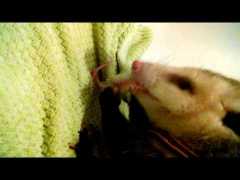 Opossum eats live mouse