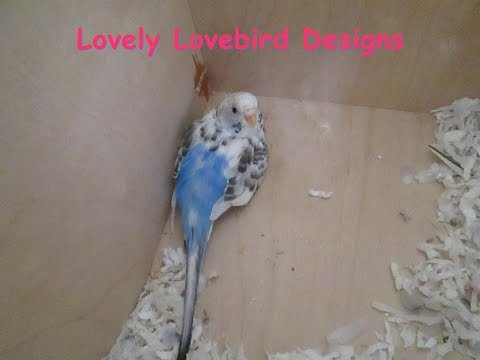 Parakeet Baby #2! Episode 3. Skittles and Beauty. Budgie Baby