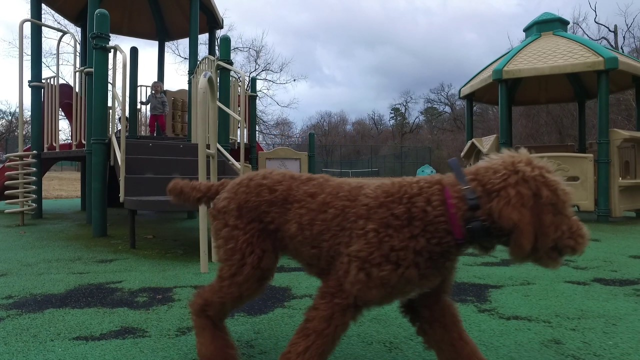 6 Month Old Standard Poodle (Gabby) | Best Dog Training Northwest Arkansas