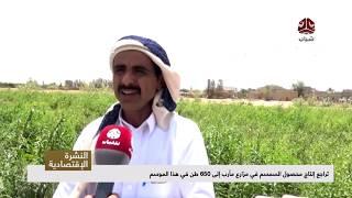 تراجع إنتاج محصول السمسم في مزارع مأرب إلى 650 طن في هذا الموسم  | تقرير رشاد النواري