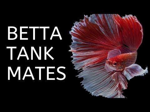 BETTA FISH TANK MATES | 10 More Great Tank Mates For Bettas